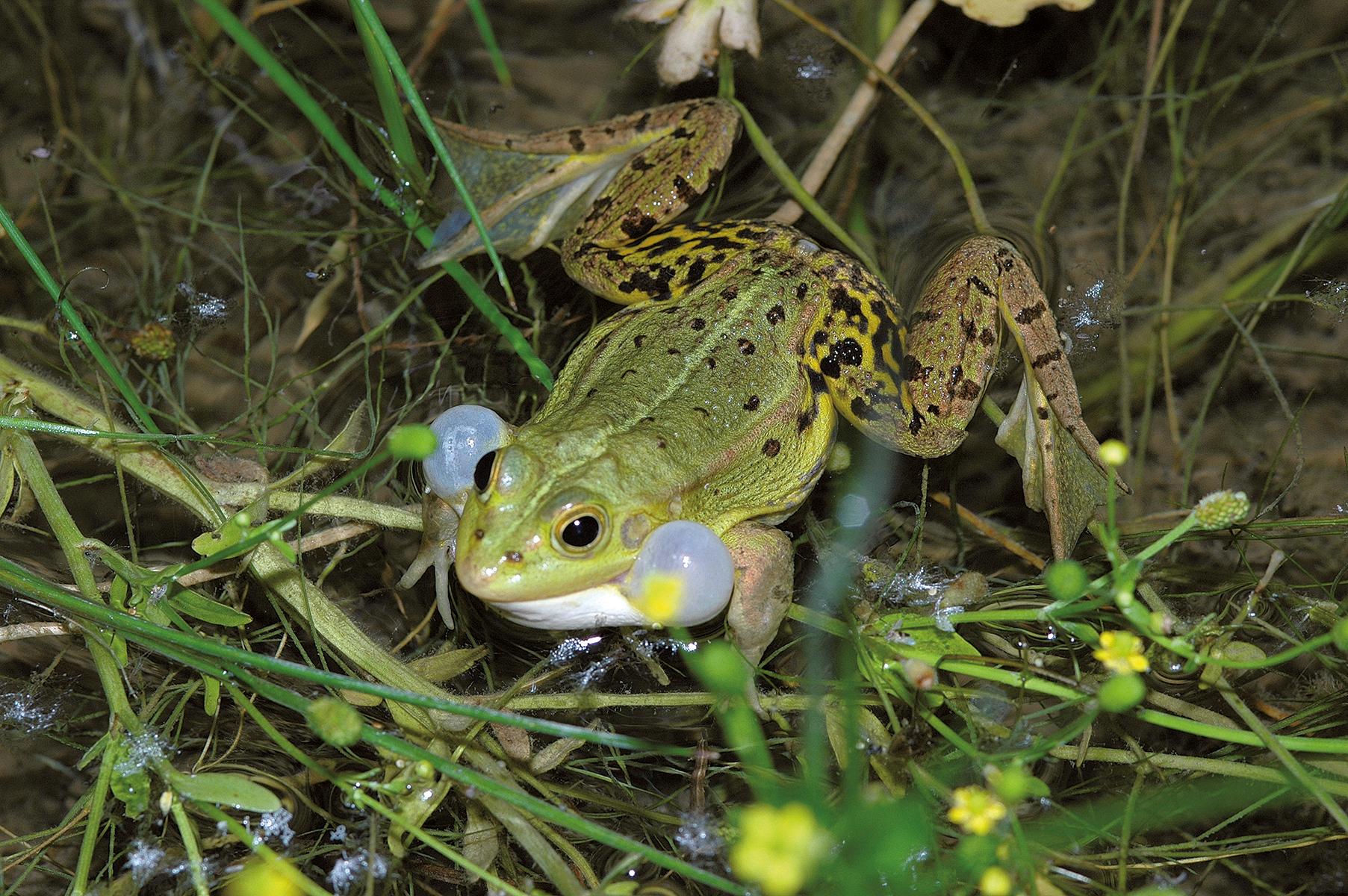 Der Wasserfrosch macht sich in vielen Tümpeln auch tagsüber durch laute Rufe bemerkbar