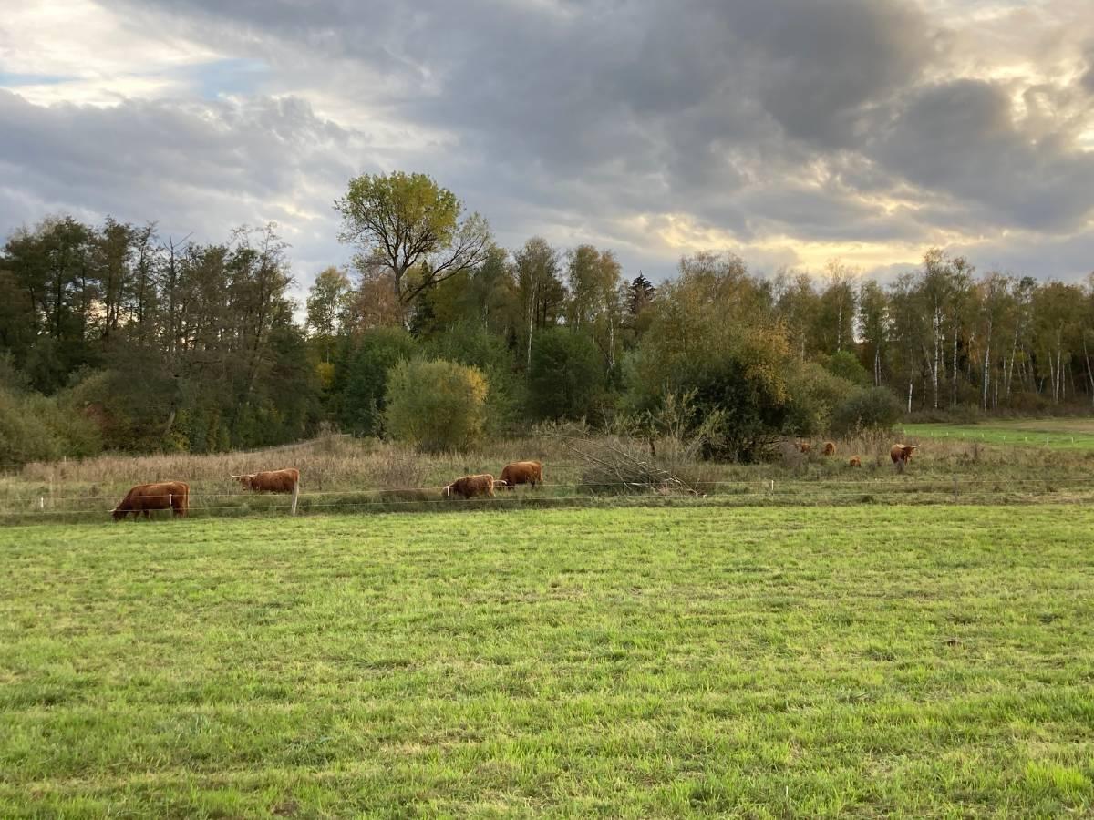 In Langen Teilen sorgen Hochlandrinder für offene Wasserflächen in den Stichgräben